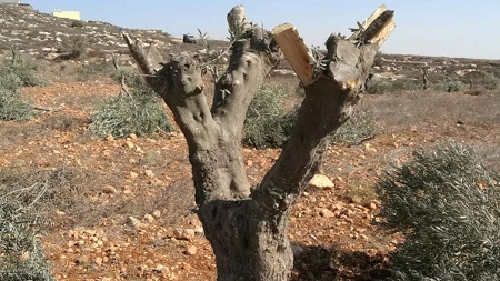 Israeli Settlers Destroyed 800K Olive Trees since 1967